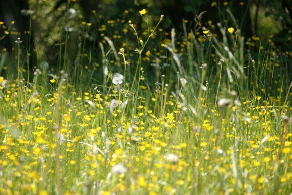 Blumenwiese - Allergie