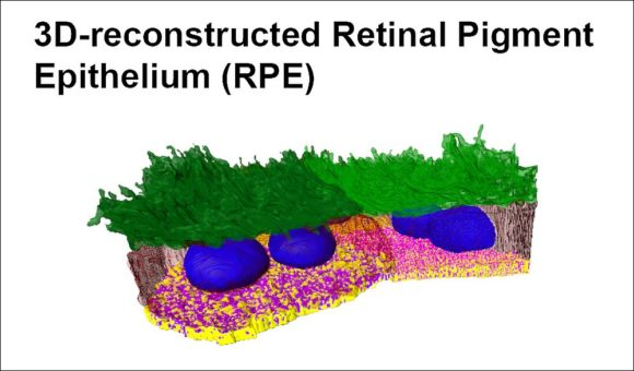 3D - Retinal Pigment Epithel - Uni Southhampton